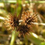 Bild: Zwerg-Schneckenklee Frucht braun Medicago minima