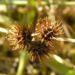 Zurück zum kompletten Bilderset Zwerg-Schneckenklee Frucht braun Medicago minima