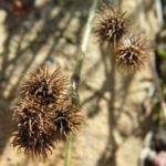 Kleiner Schneckenklee Bluete Frucht Medicago minima 07