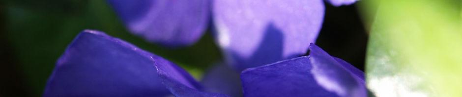 Anklicken um das ganze Bild zu sehen Kleines Immergrün Blüte blau Vinca minor