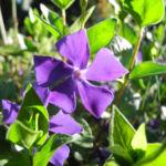 Bild: Kleines Immergrün Blüte lila Vinca minor
