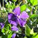 Zurück zum kompletten Bilderset Kleines Immergrün Blüte lila Vinca minor