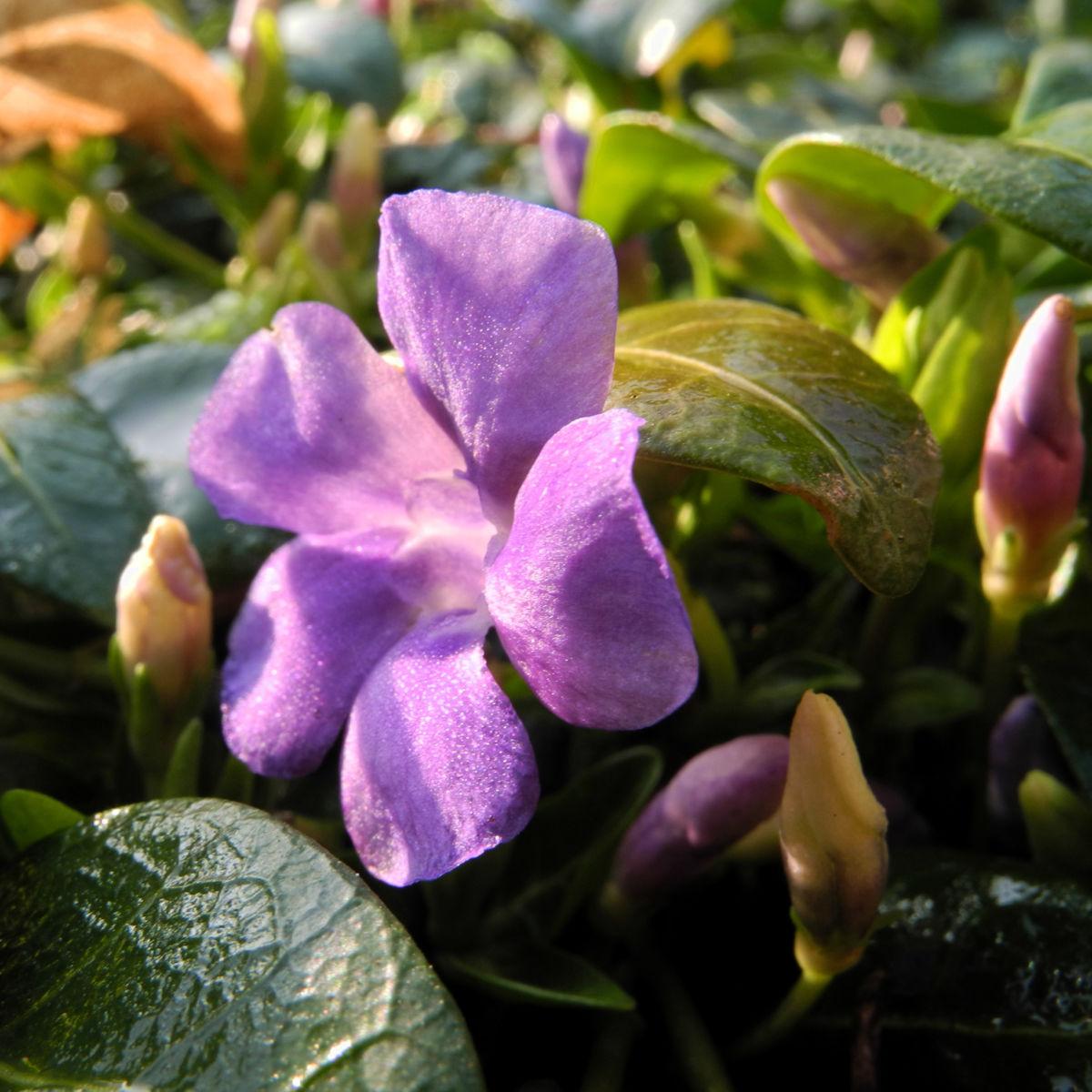 Kleines Immergruen Bluete lila Vinca minor