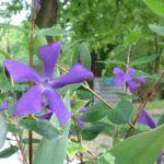 Kleines Immergrün blau Vinca minor