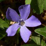 Kleines Immergruen blaue Bluete Vinca minor 01