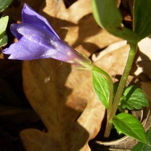 Kleines Immergruen blaue Bluete Vinca minor 03
