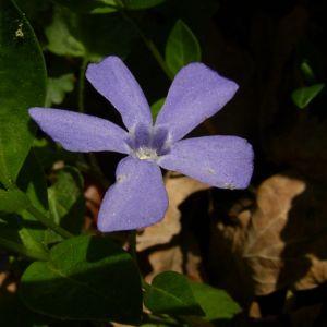 Kleines Immergruen blaue Bluete Vinca minor 04