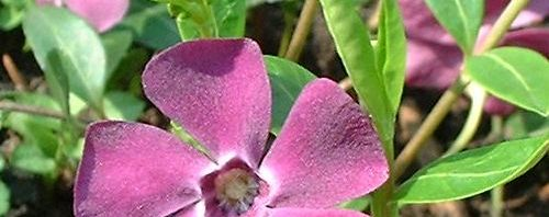 Anklicken um das ganze Bild zu sehen Kleines Immergrün Blüte lila Vinca minor