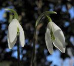 Kleines Schneegloeckchen Bluete weiss Galanthus nivalis 06