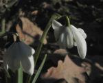 Kleines Schneegloeckchen Bluete weiss Galanthus nivalis 10