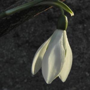Kleines Schneegloeckchen Bluete weiss Galanthus nivalis 13