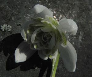 Kleines Schneegloeckchen Bluete weiss Galanthus nivalis 21