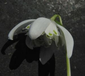 Kleines Schneegloeckchen Bluete weiss Galanthus nivalis 22