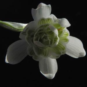Kleines Schneegloeckchen Bluete weiss Galanthus nivalis 31