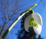 Kleines Schneegloeckchen Bluete weiss Galanthus nivalis 09