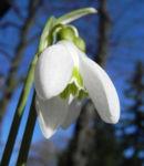 Kleines Schneegloeckchen Bluete weiss Galanthus nivalis 14