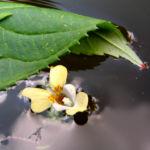 Bild:  Kleines Springkraut Blüte blassgelb Impatiens parviflora
