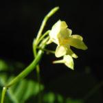kleines springkraut bluete weiß gelb impatiens parviflora 01