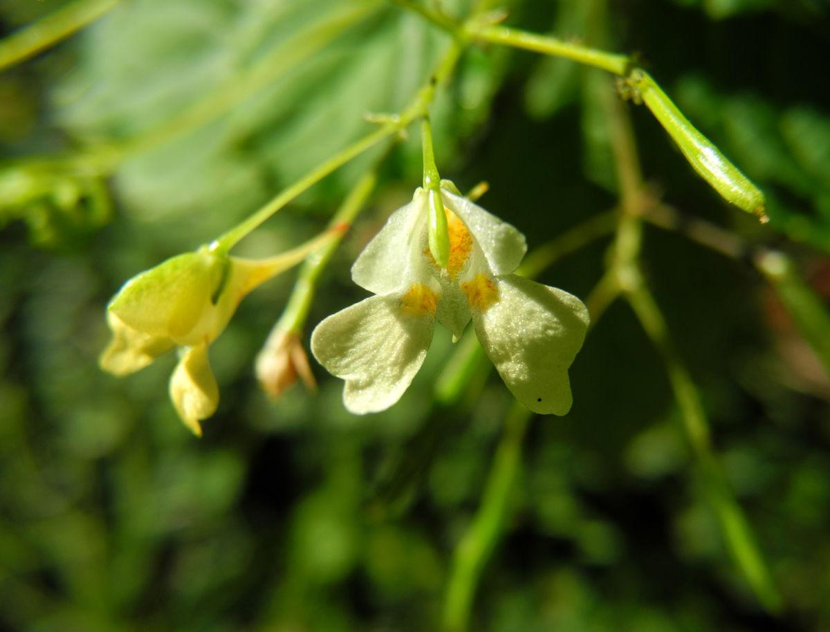 kleines springkraut bluete weiß gelb impatiens parviflora
