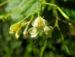 Zurück zum kompletten Bilderset Kleines Springkraut Blüte weiß gelb Impatiens parviflora