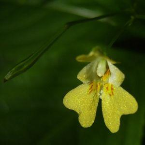 Kleines Springkraut Impatiens parviflora 01
