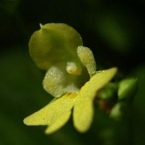 Kleines Springkraut Impatiens parviflora 02