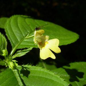 Kleines Springkraut Impatiens parviflora 03
