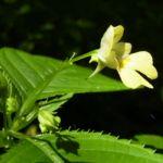 Kleines Springkraut Impatiens parviflora 04