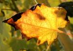 Kleinfruechtiger Federmohn Blatt Bluete hell orange Macleaya microcarpa 01