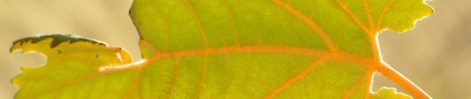 kleinfruechtiger-federmohn-blatt-bluete-hell-orange-macleaya-microcarpa