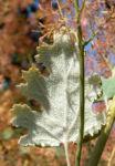 Kleinfruechtiger Federmohn Blatt Bluete hell orange Macleaya microcarpa 05