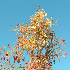 Kleinfruechtiger Federmohn Blatt Bluete hell orange Macleaya microcarpa 07