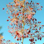 Kleinfruechtiger Federmohn Blatt Bluete hell orange Macleaya microcarpa 09
