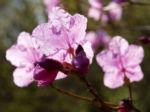 Kleinspitzige Alpenrose Rhododendron Bluete rosa Rhododendron mucronulatum 03