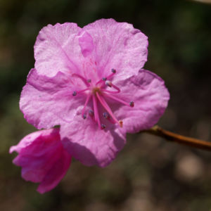 Kleinspitzige Alpenrose Rhododendron Bluete rosa Rhododendron mucronulatum 05