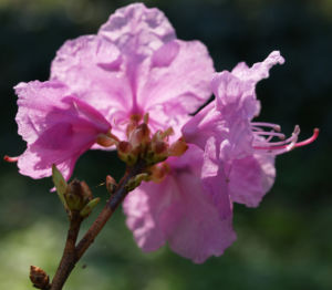 Kleinspitzige Alpenrose Rhododendron Bluete rosa Rhododendron mucronulatum 06