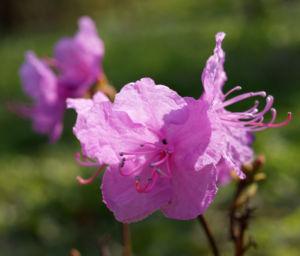 Kleinspitzige Alpenrose Rhododendron Bluete rosa Rhododendron mucronulatum 07