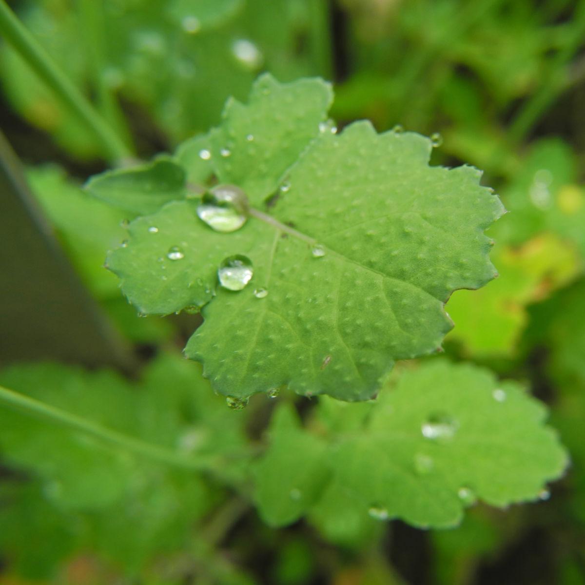 Kleinstrauchiger Kohl Blatt gruen Brassica fruticulosa