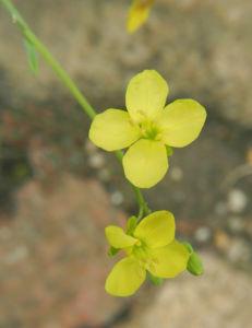 Mittelmeer-Kohl Blüte gelb Brassica fruticulosa