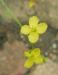 Zurück zum kompletten Bilderset Mittelmeer-Kohl Blüte gelb Brassica fruticulosa