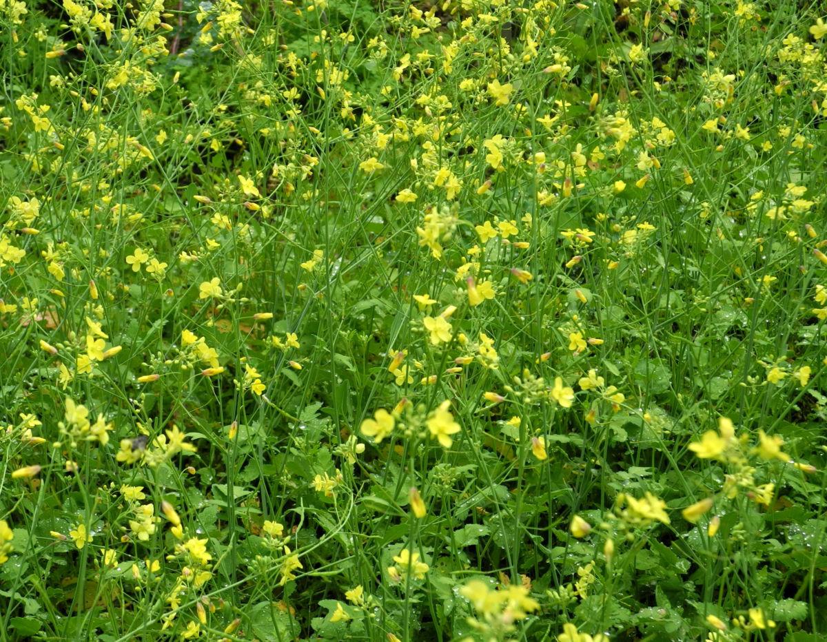 Kleinstrauchiger Kohl Brassica fruticulosa