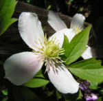 Bild: Berg-Waldrebe Blüte weiß Clematis montana