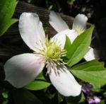 Klematis Gartenform Bluete weiss Clematis montana 01