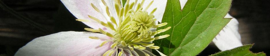 Anklicken um das ganze Bild zu sehen Berg-Waldrebe Blüte weiß Clematis montana