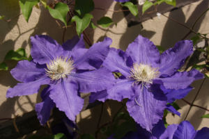 Klematis Kultivar Bluete gross blau 2 Clematis heracleifolia 01