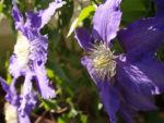 Klematis Kultivar Bluete gross blau 2 Clematis heracleifolia 02