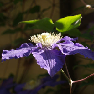Klematis Kultivar Bluete gross blau 2 Clematis heracleifolia 03