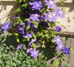 Bild: Klematis Kultivar Blüte blau Clematis heracleifolia