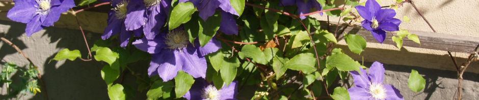 Anklicken um das ganze Bild zu sehen Klematis Kultivar Blüte blau Clematis heracleifolia