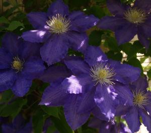 Klematis Kultivar Bluete gross blau 2 Clematis heracleifolia 05